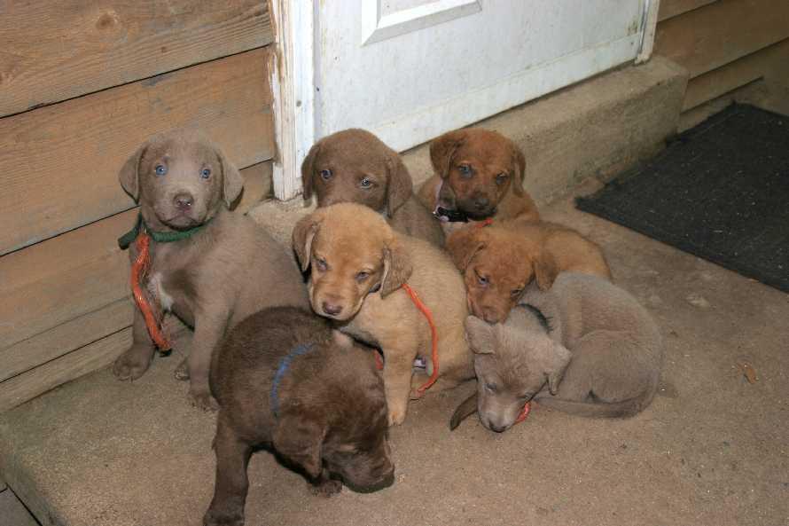Chesapeake Bay Retriever Puppies: Chesapeake Chesapeake Bay Retriever Profiles And Breed