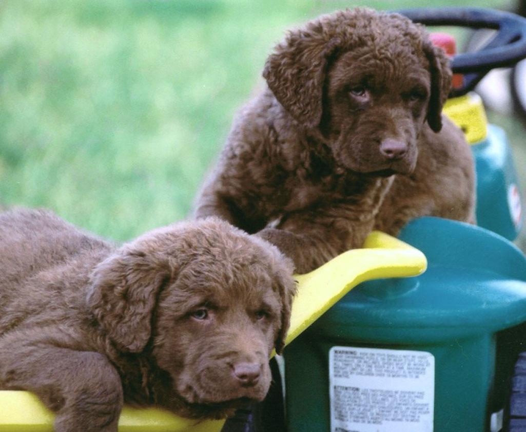 Chesapeake Bay Retriever Puppies: Chesapeake Chesapeake Bay Retriever Puppies Breed