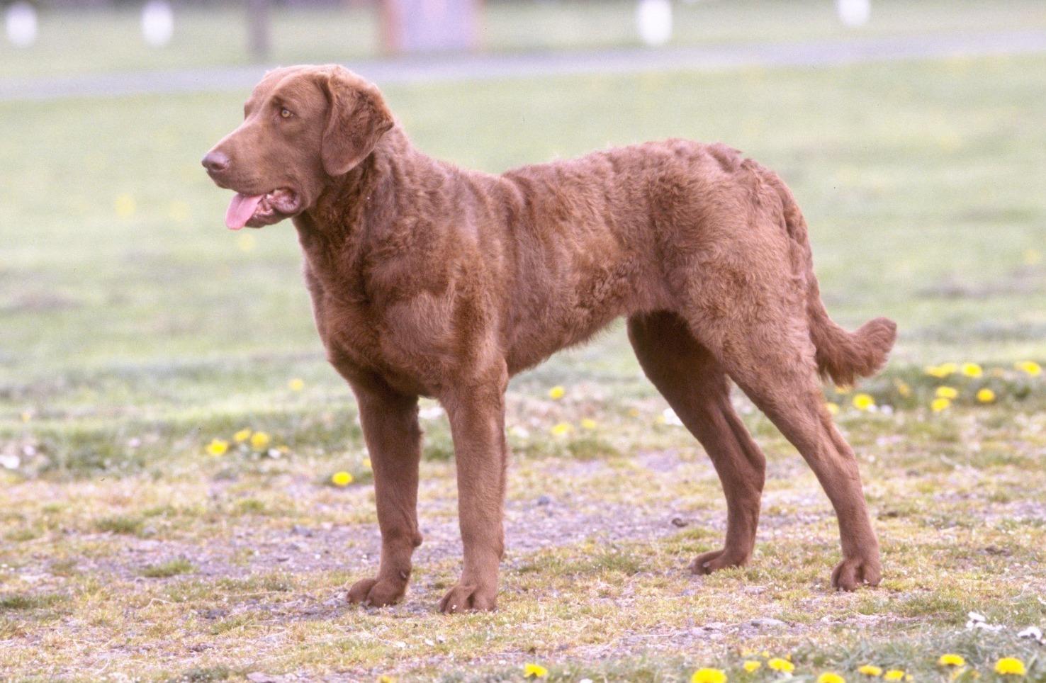 Chesapeake Bay Retriever Dog: Chesapeake Cute Chesapeake Bay Retriever Dog Breed