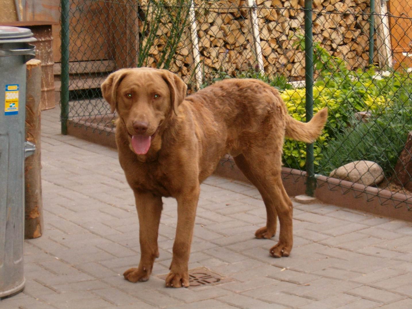 Chesapeake Bay Retriever Dog: Chesapeake Dogs Breed
