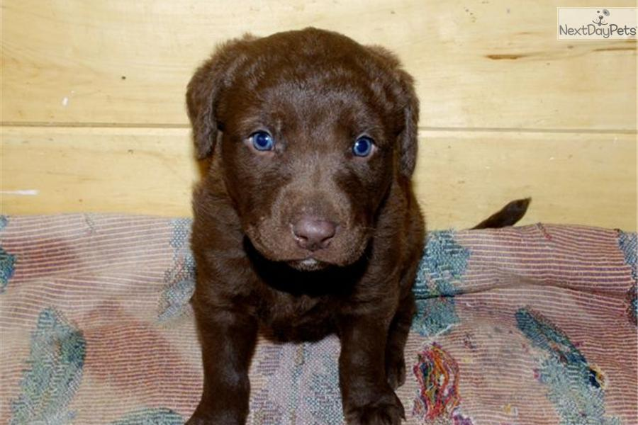 Chesapeake Bay Retriever Puppies: Chesapeake Fa D Breed