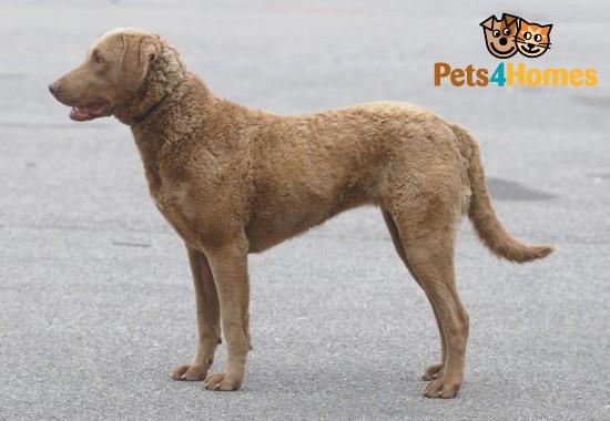 Chesapeake Bay Retriever Dog: Chesapeake Home Breed