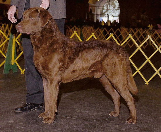 Chesapeake Bay Retriever Dog: Chesapeake Maryland State Mammal Breed