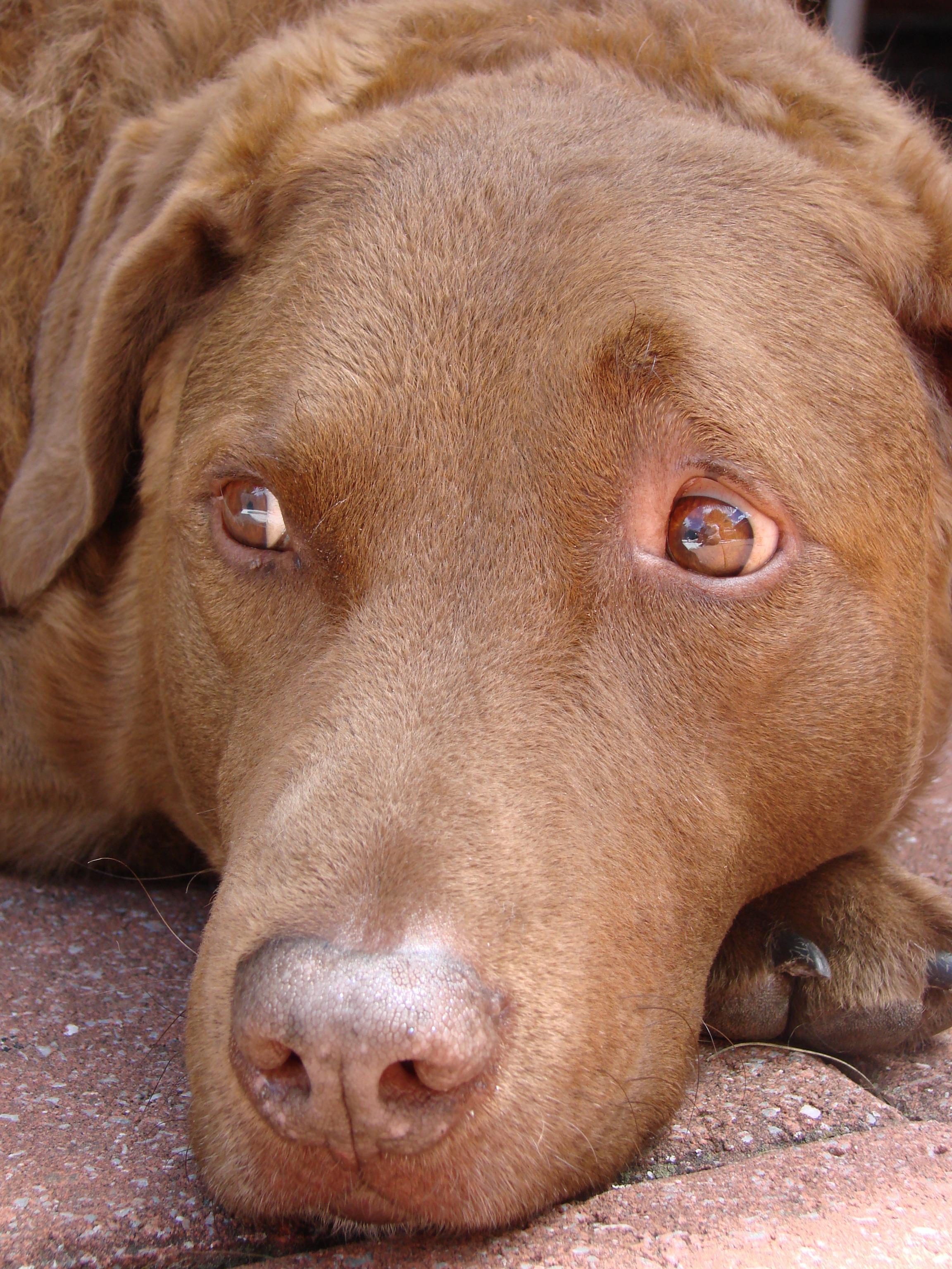 Chesapeake Bay Retriever Dog: Chesapeake Mufi Breed
