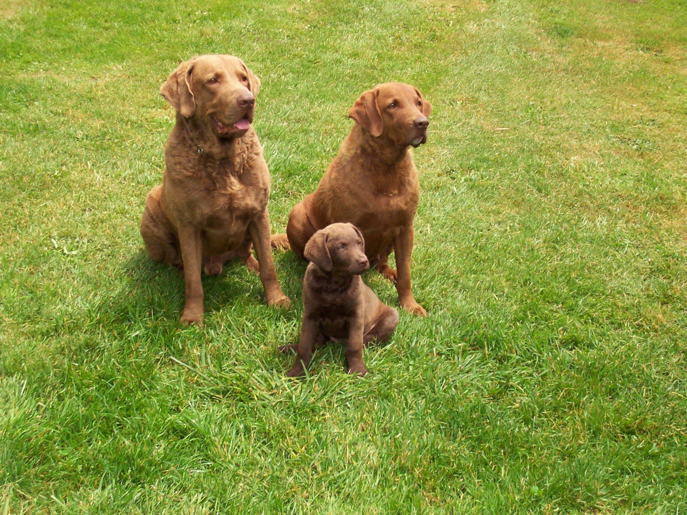 Chesapeake Bay Retriever Dog: Chesapeake Three Lovely Chesapeake Bay Retriever Dogs Breed