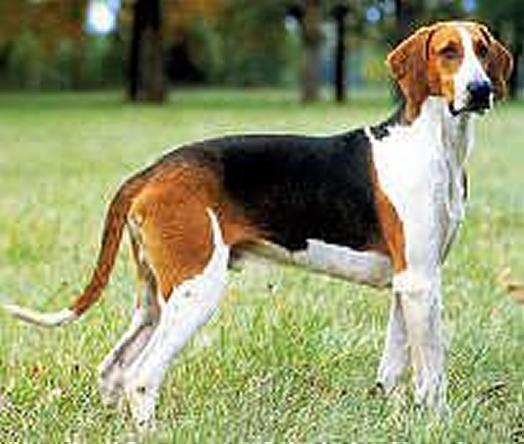 Chien Français Tricolore Dog: Chien Anglo Francais Breed