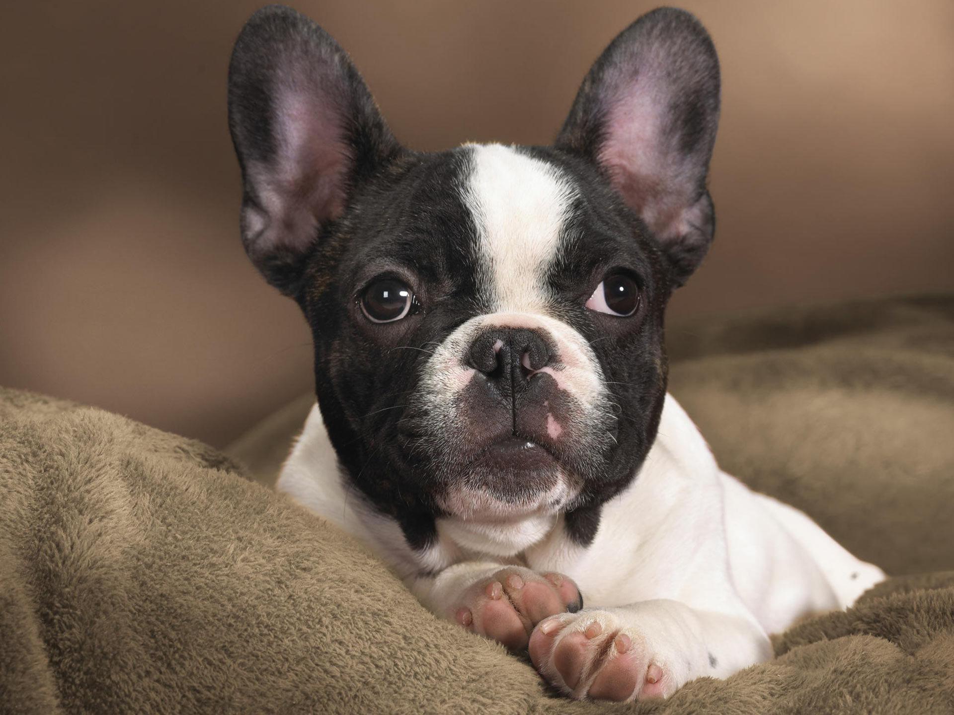 Chien Français Blanc et Noir Dog: Chien Boston Terrier Breed