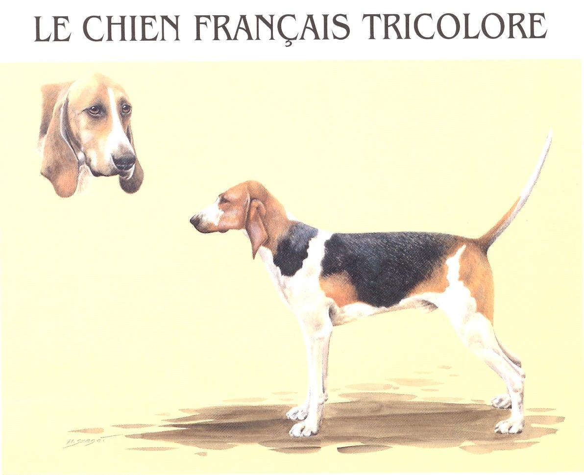 Chien Français Tricolore Puppies: Chien Breed Uncategorized Skills