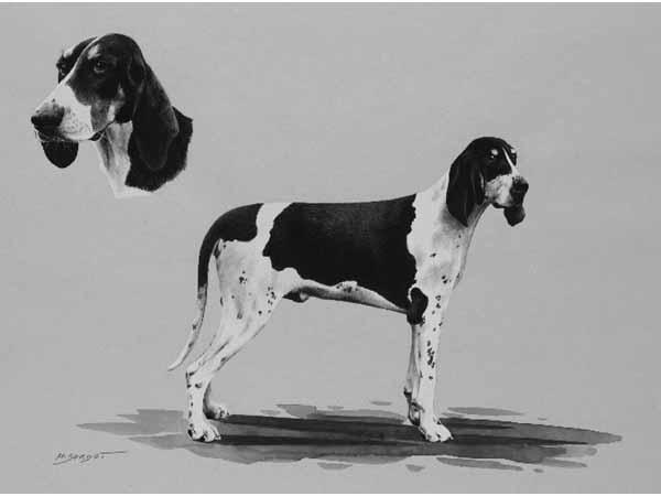 Chien Français Blanc et Orange Dog: Chien Chien Francais Blanc Et Noir Breed