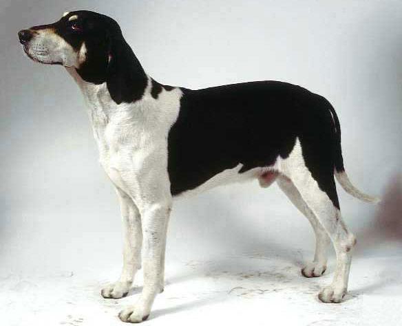 Chien Français Blanc et Noir Dog: Chien Chienfrancaisblancetnoir Breed