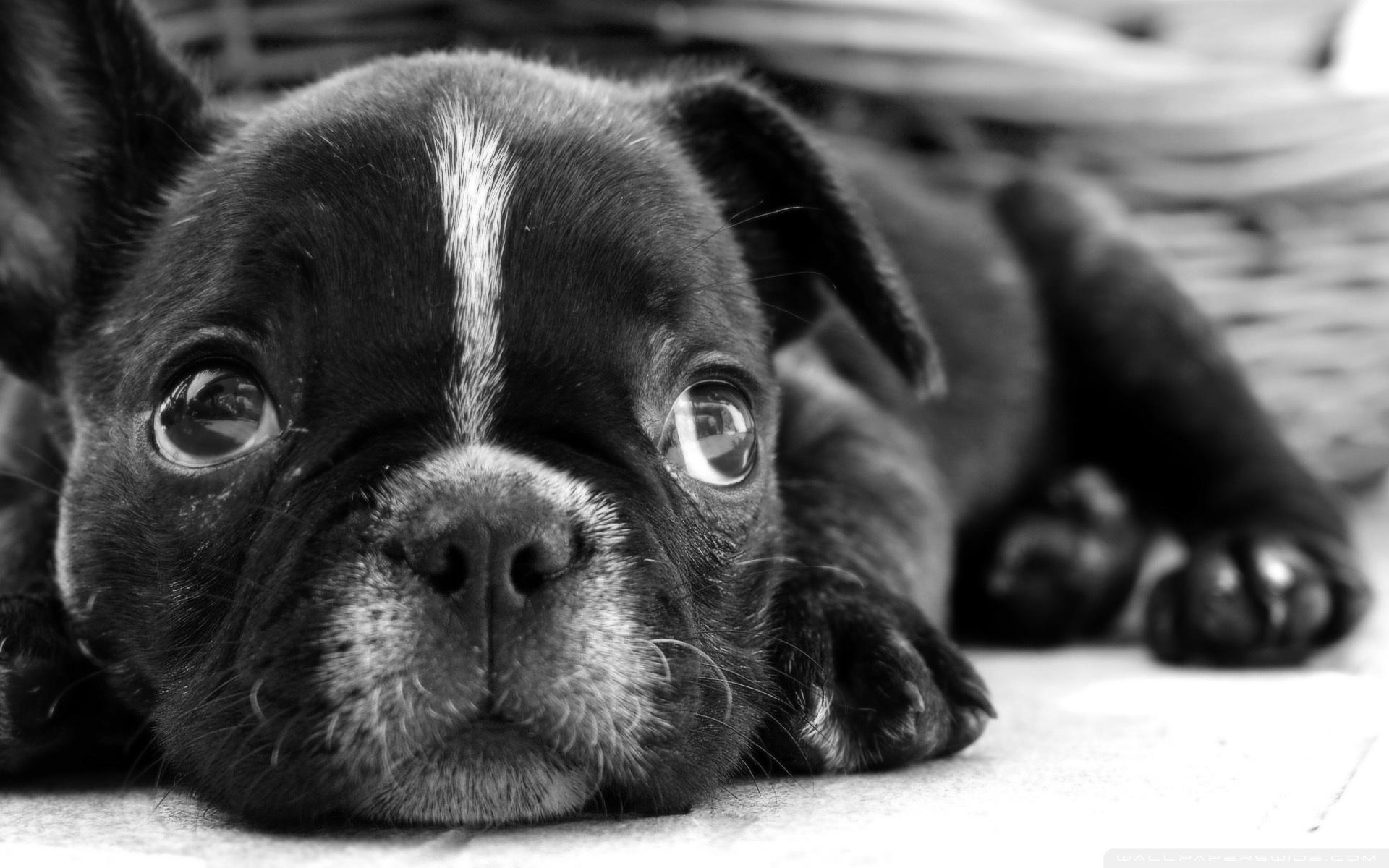 Chien Français Blanc et Noir Puppies: Chien French Bulldog S Breed