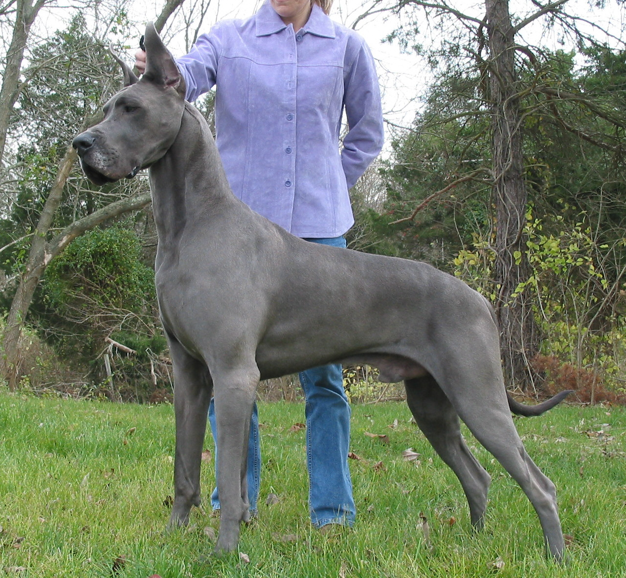 Chien-gris Dog: Chien Gris Big Dogs Versus Big Acting Dogs Breed