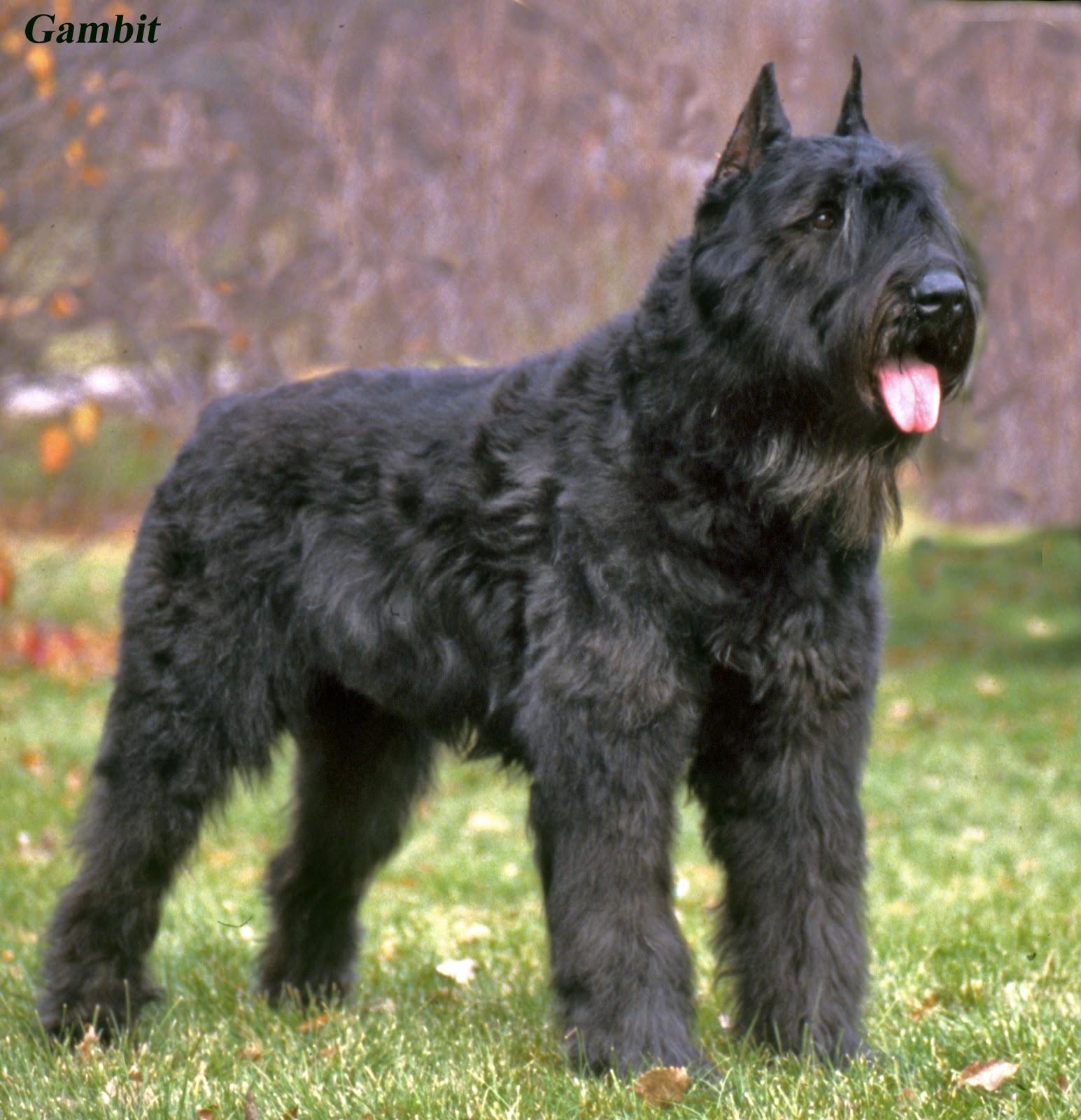 Chien-gris Dog: Chien Gris Bouvier Des Flandres Dogs Breed