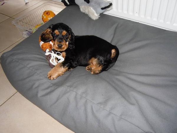 Chien-gris Dog: Chien Gris Dogs Companion Lit Pour Chien Gris Souris Breed