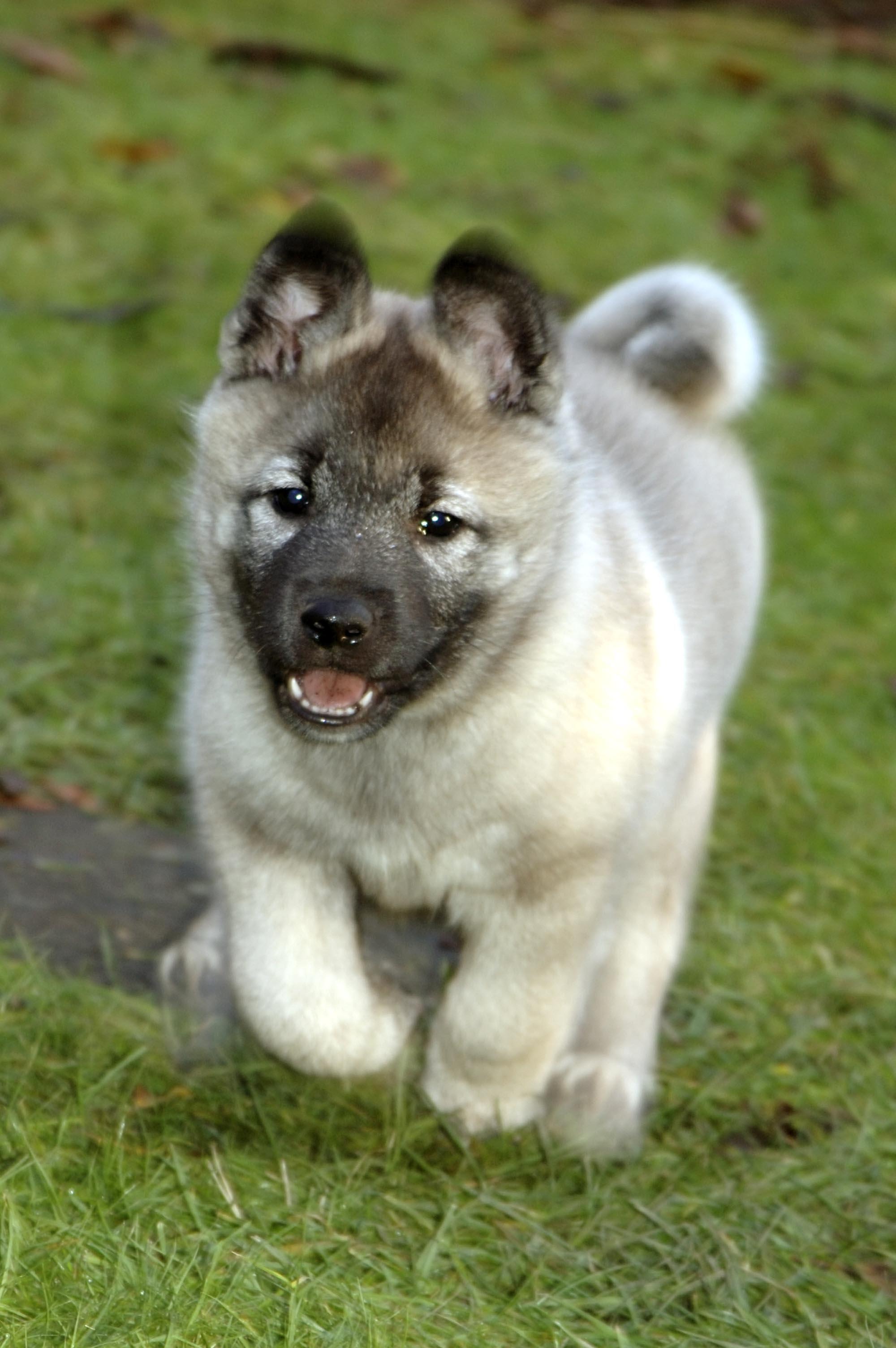 Chien-gris Puppies: Chien Gris Norwegian Elkhound Breed