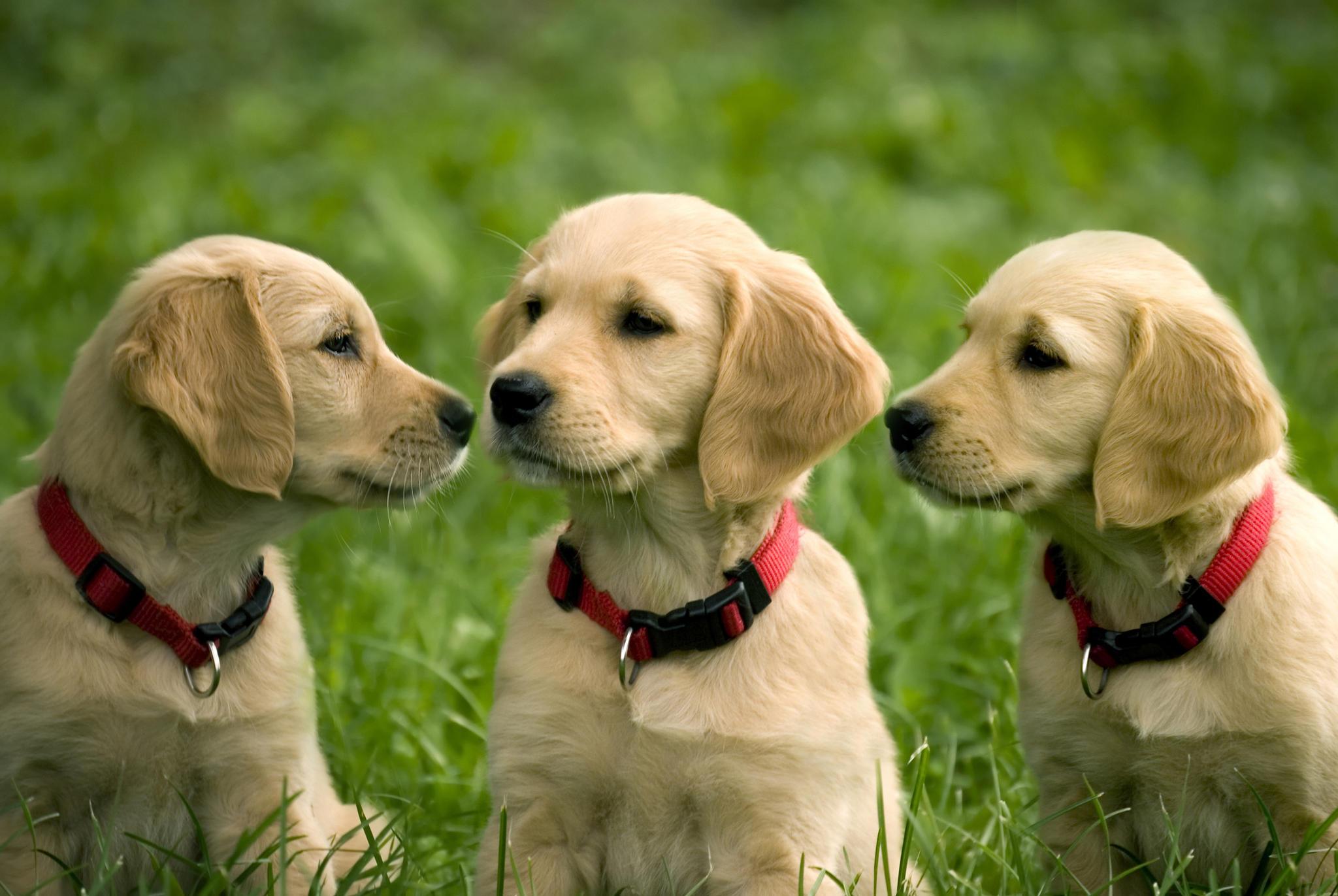 Chien-gris Puppies: Chien Gris Puppies Of Golden Retriever Breed