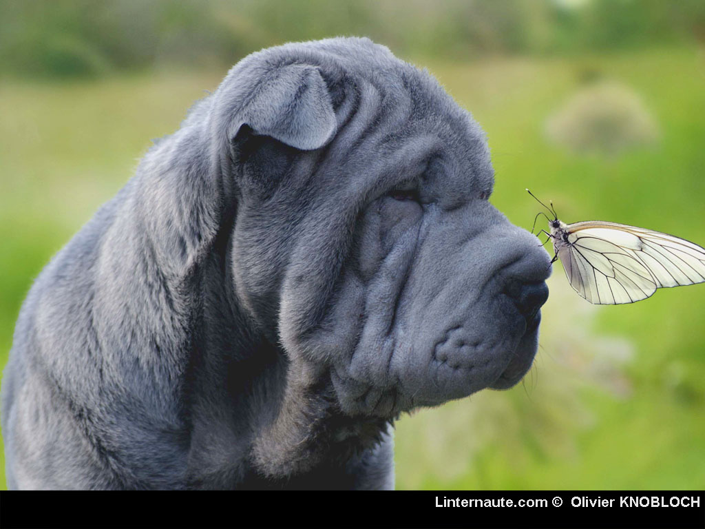 Chien-gris Puppies: Chien Gris Rub Fond Ecran Animaux Breed