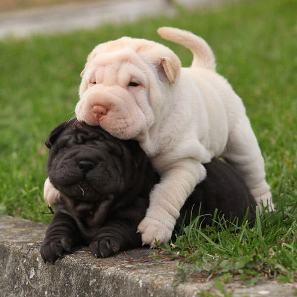Chien-gris Puppies: Chien Gris Shar Pei Puppies Breed