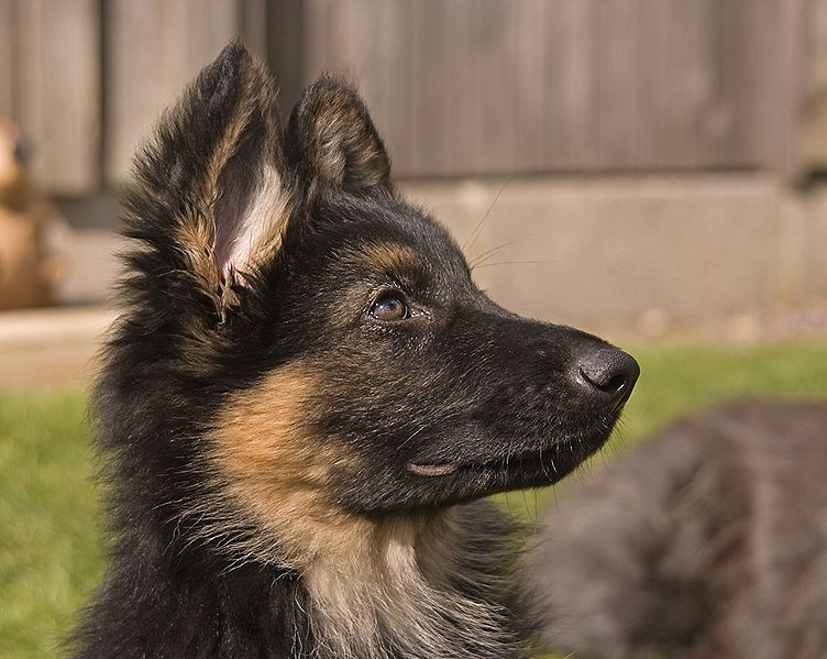 Chien-gris Puppies: Chien Gris Un Chien Guide Daveugle Avec Des Problemes De Comportement Breed