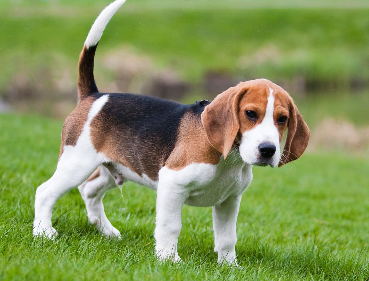 Chien Français Tricolore Puppies: Chien Le Beagle Breed