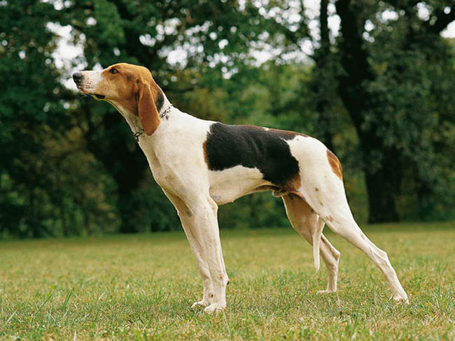 Chien Français Blanc et Orange Dog: Chien Rare Dog Breeds