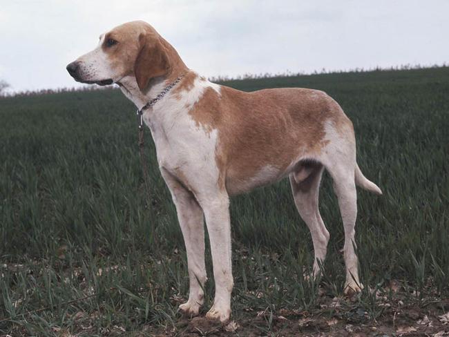 Chien Français Blanc et Orange Puppies: Chien T Grand Anglo Francais Blanc Et Orange Breed