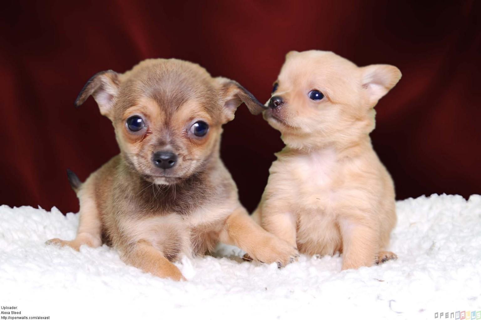 Chihuahua Puppies: Chihuahua Breed