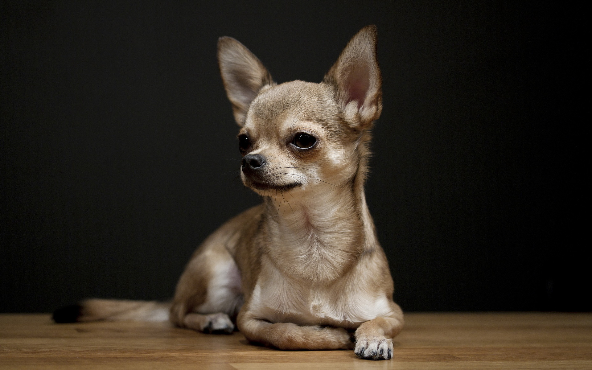 Chihuahua Dog: Chihuahua Chihuahua Dog Hd Backgrounds Breed