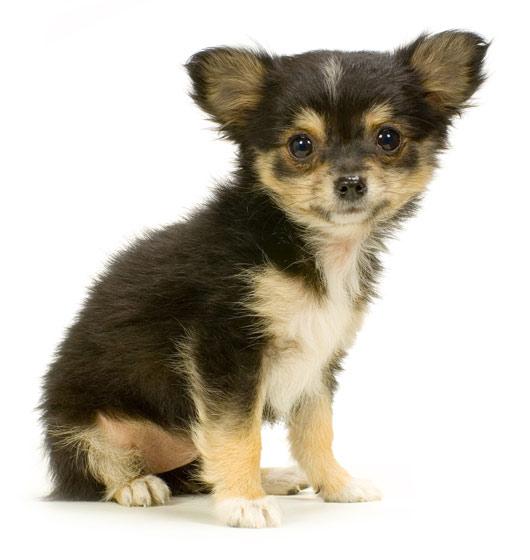 Chihuahua Puppies: Chihuahua Chihuahua Puppy Breed