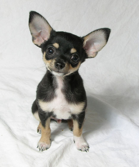 Chihuahua Dog: Chihuahua Chihuahua Puppy Pictures And Breed