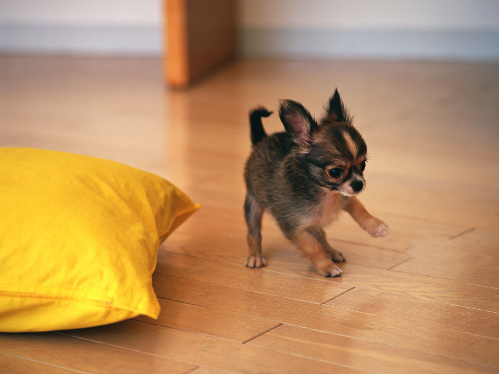 Chihuahua Puppies: Chihuahua How To Care For And Train Chihuahua Dog Breed