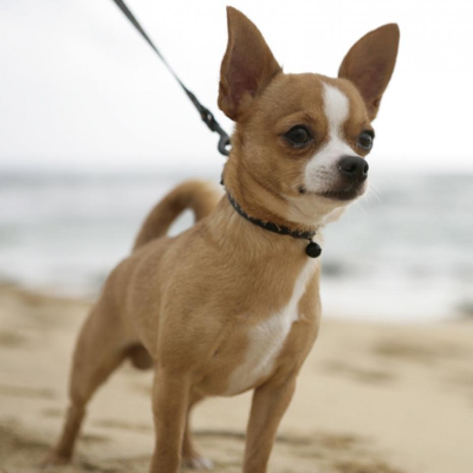 Chihuahua Dog: Chihuahua Insolite Une Fillette Sauvee De L Attaque D Un Pitbull Par Un Chihuahua Galerie Breed