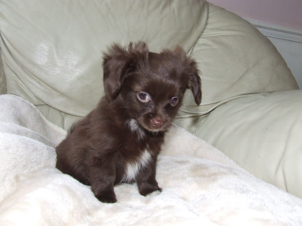 Chihuahua Puppies: Chihuahua Papillon X Chihuahua Puppies Basildon Breed