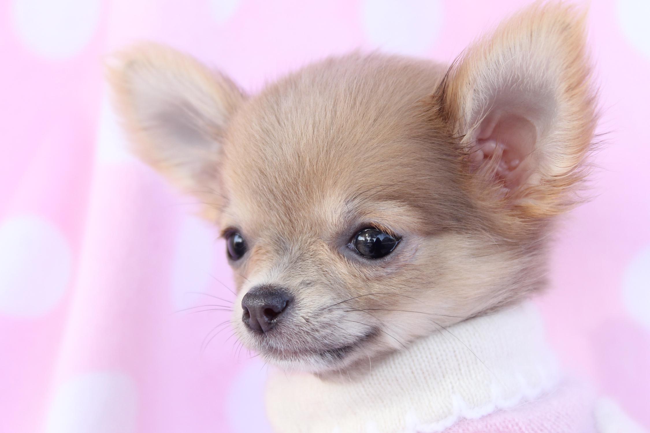 Chihuahua Puppies: Chihuahua Puppy Breed