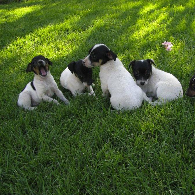 Chilean Fox Terrier Puppies: Chilean Chilean Fox Terrier Breed