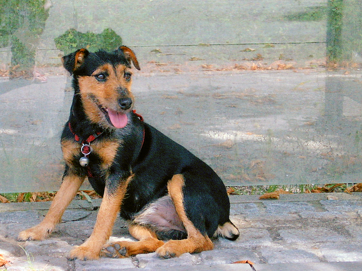 Chilean Fox Terrier Puppies: Chilean Cute Jagdterrier Dog Breed