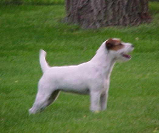 Chilean Fox Terrier Puppies: Chilean Index Breed
