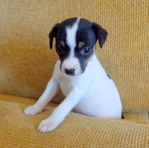 Chilean Fox Terrier Dog: Chilean Qmqyiqwqb Breed