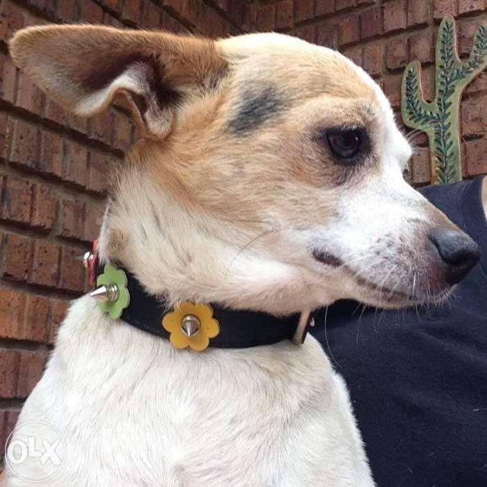 Chilean Fox Terrier Puppies: Chilean Scottish Terrier X Fox Terrier Puppies For Sale Idgy Breed