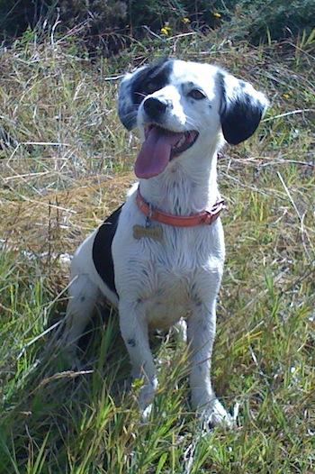 Chilean Fox Terrier Dog: Chilean Toyfoxbeagle Breed
