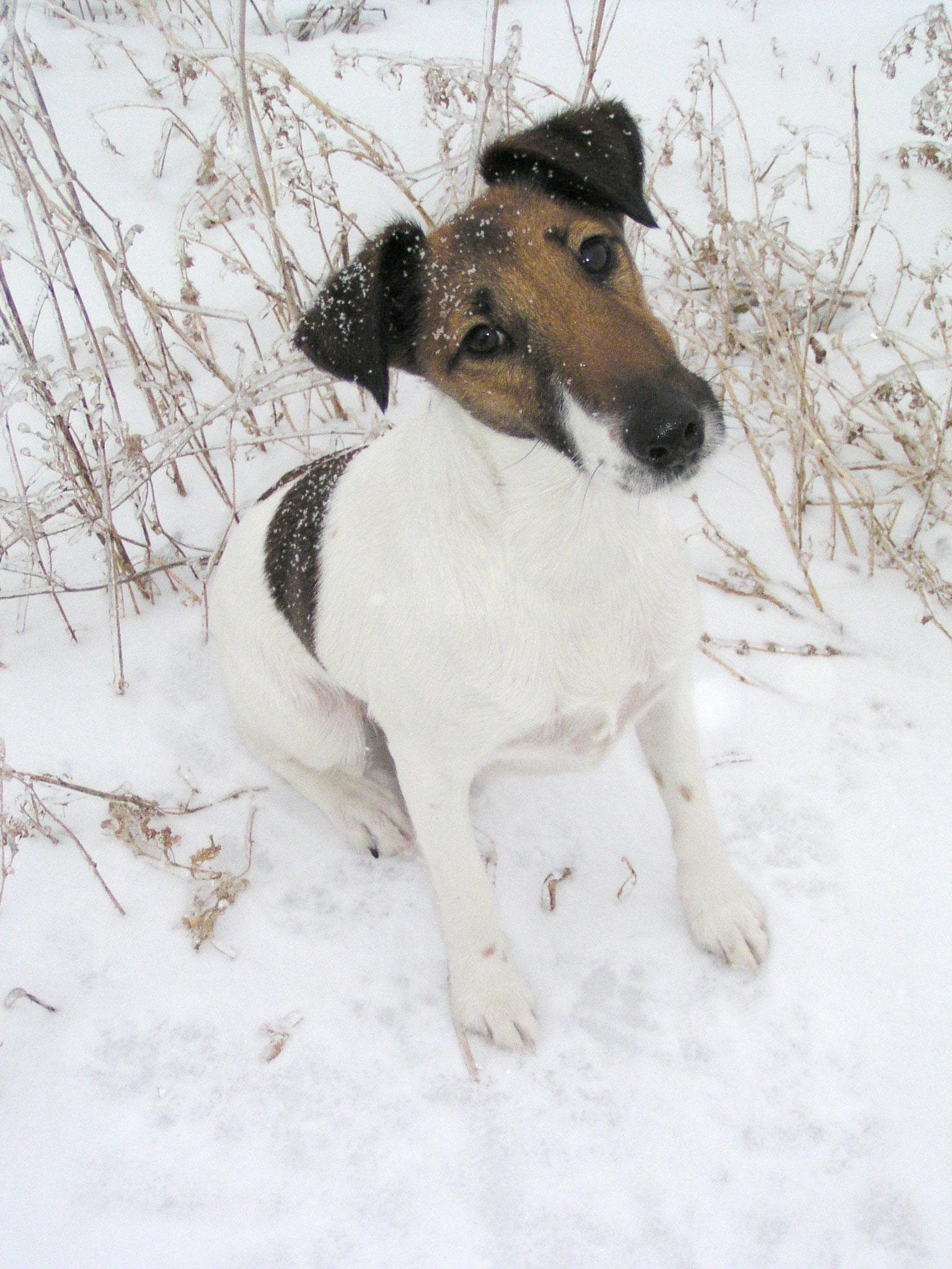 Chilean Fox Terrier Puppies: Chilean Winter Chilean Fox Terrier Dog Breed