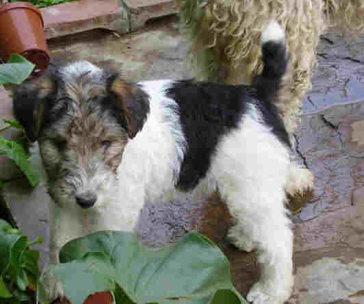 Chilean Fox Terrier Puppies: Chilean Wire Hair Fox Terrier For Sale South Africa Breed