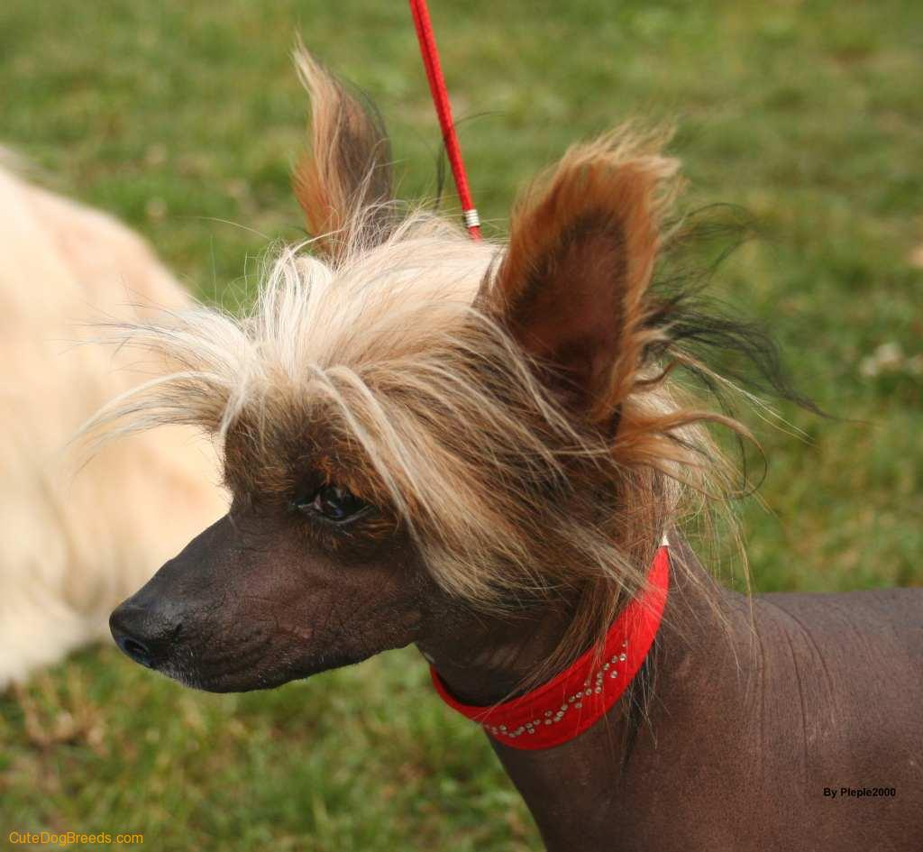Chinese Crested Dog: Chinese Aldinoff Breed