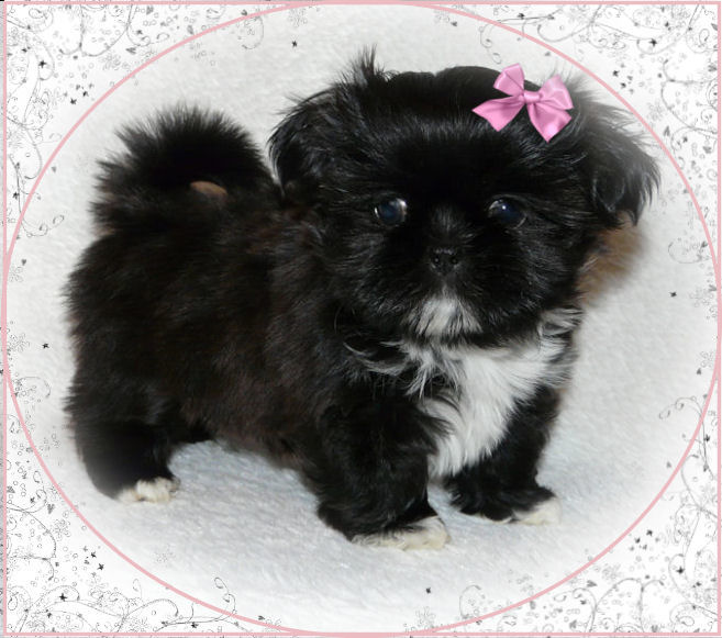 Chinese Imperial Puppies: Chinese Availableimperialshihtzupuppies Breed