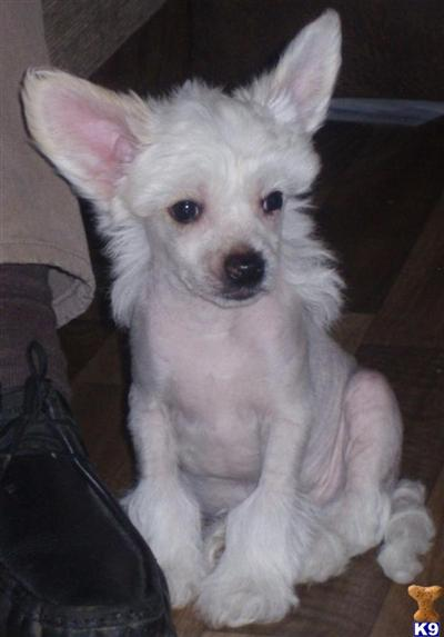 Chinese Chongqing Puppies: Chinese Chinese Chongqing Dog Breed Pictures And Information Only Dog Breeds