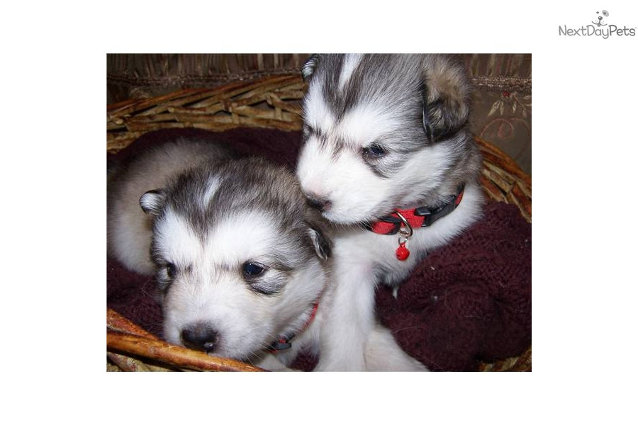 Chinese Chongqing Puppies: Chinese Chinese Chongqing Dog For Sale California Breed