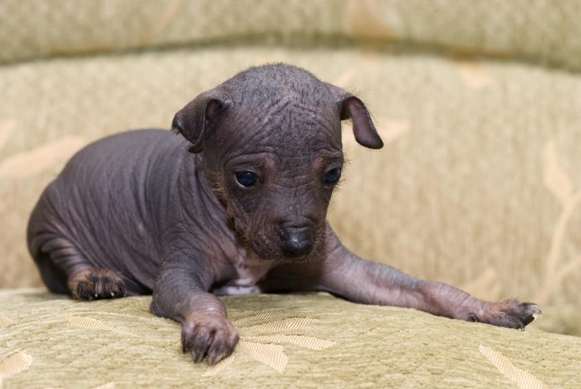 Chinese Crested Puppies: Chinese Chinese Crested Puppies Breed