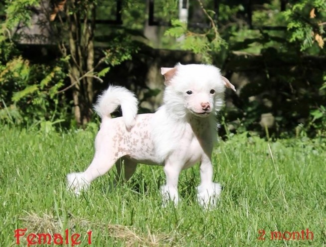 Chinese Crested Puppies: Chinese Chinese Crested Puppies For Sale Corby Breed