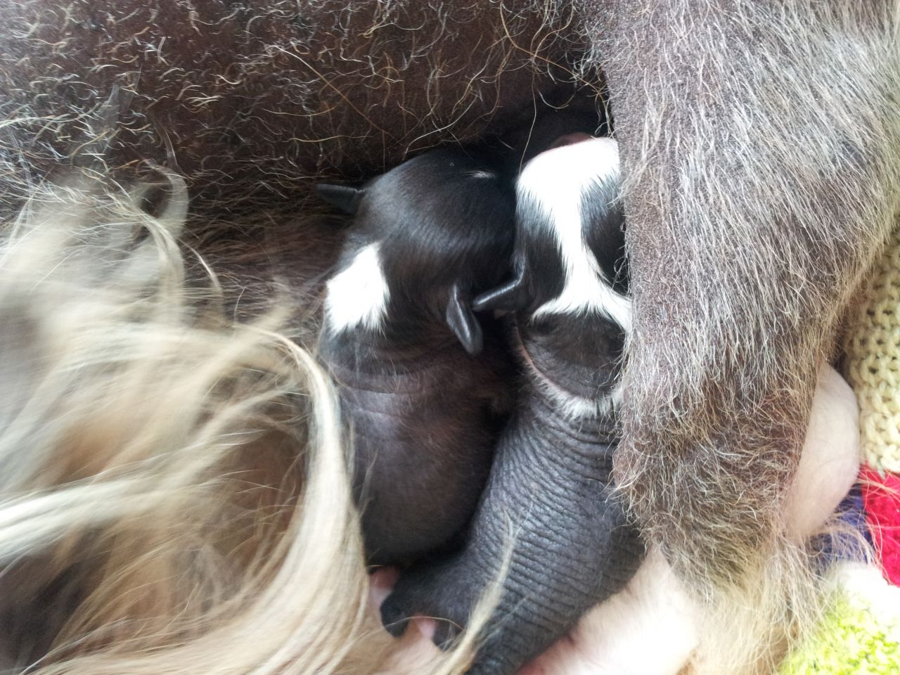 Chinese Crested Puppies: Chinese Chinese Crested Puppies Sherborne Breed