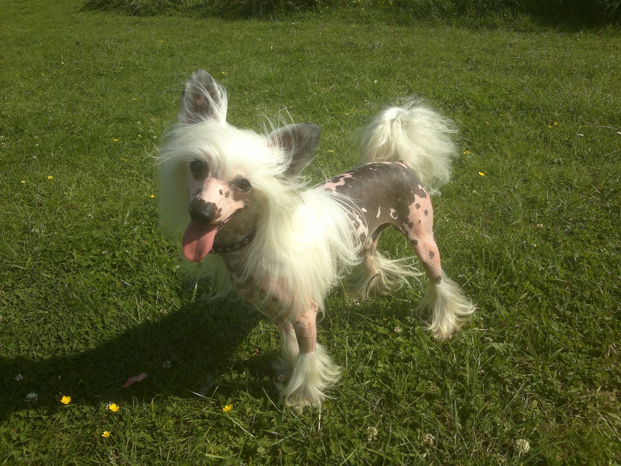 Chinese Crested Dog: Chinese Chinese Crested Stud Dog Corby Breed